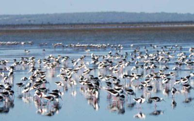 South Coast Shorebird Conservation program
