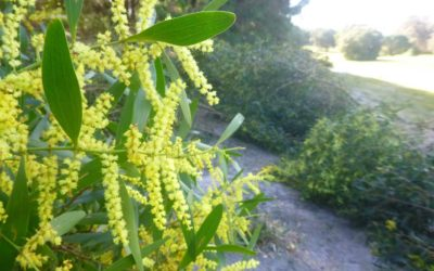 Montgomery's Hill Wines Wattle Busting
