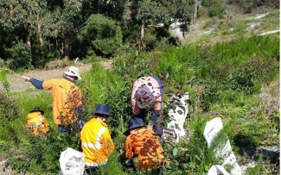 Senecio Glastifolius Eradication in the Albany Region Final Report