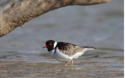 Hooded Plover and Salt-Lakes Foreshore Conservation, North Stirlings, WA